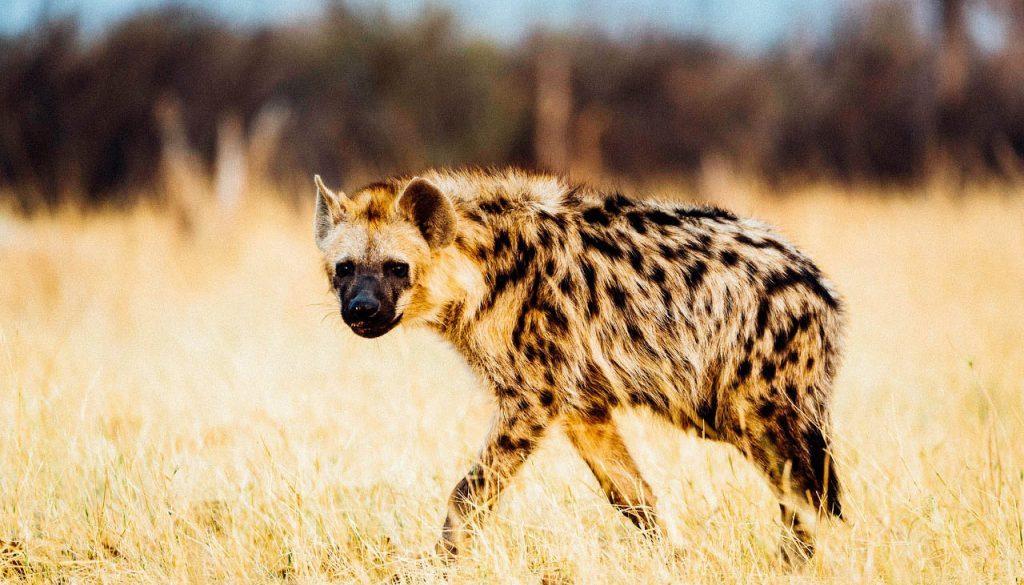 Hyena in Hwange