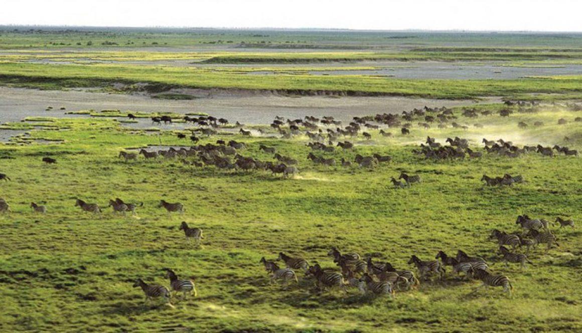 Zebra migration, Nxai Pan, Botswana