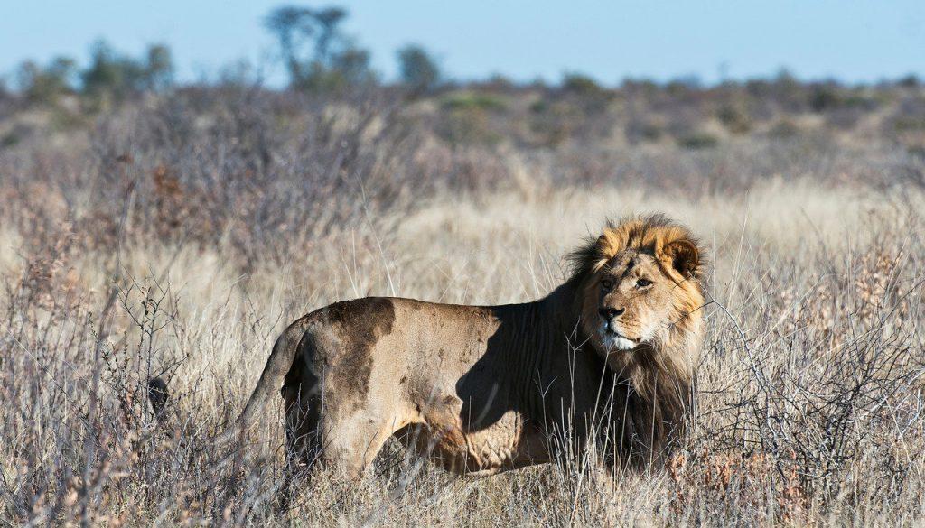 Lion, Kalahari