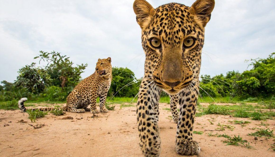 Leopard, Zambia