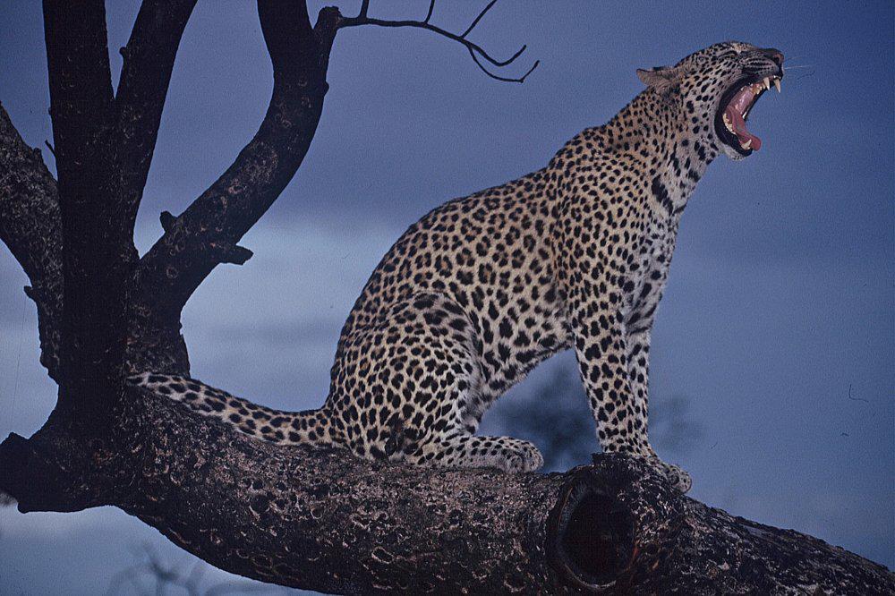 Leopard, Sabi Sands Game Reserve safari