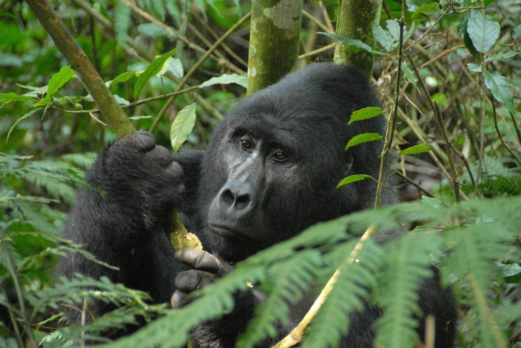 Gorilla Trekking 2 (Allen Falk)