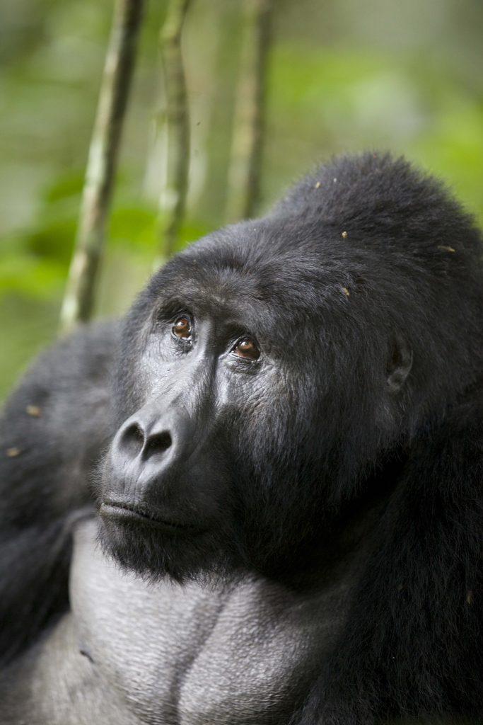 Gorilla Trekking 5