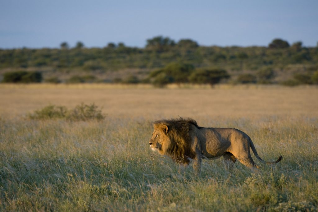 Made in Africa Tours & Safaris - Kalahari Lion