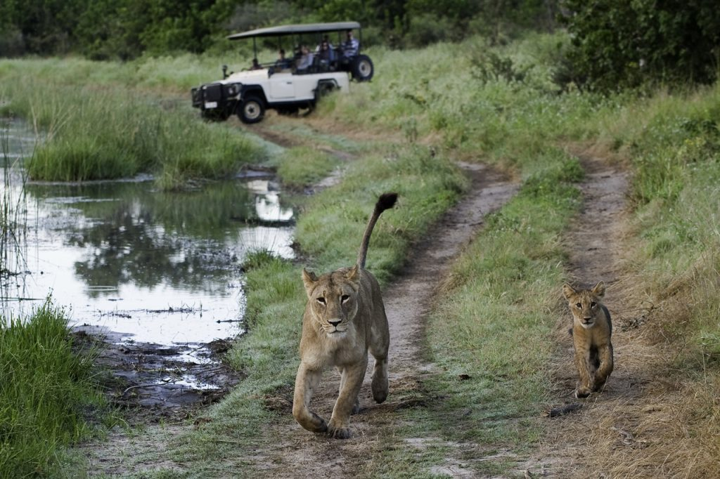 Made in Africa Tours & Safaris - Savuti Lion & Cub