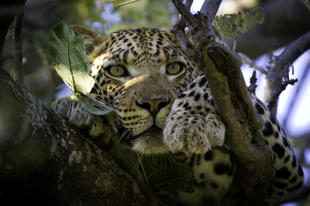 Made in Africa Tours & Safaris - Vumbura Plains Leopard