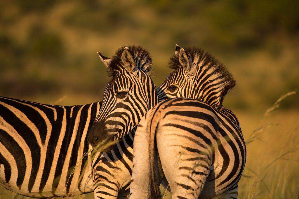 sunway_south_africa_kruger_zebra_brucetaylor-_20140729_1161005255