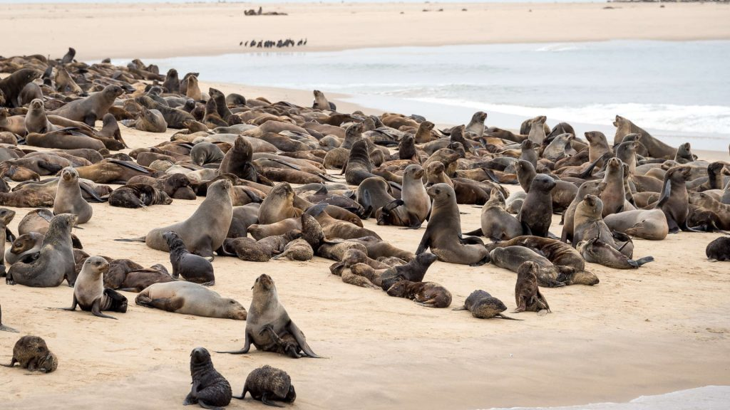 Cape Cross Seal Colony - Namibia Exploration