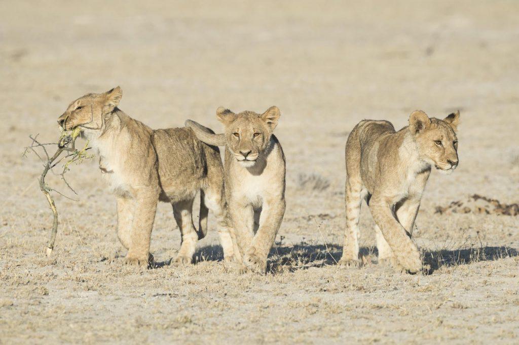 Etosha Lion - Namibia Exploration