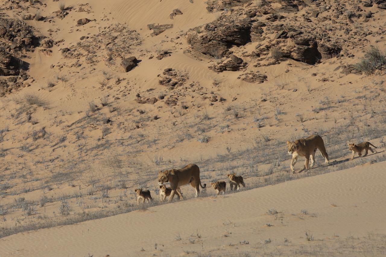 Namibia Desert Lions - Namibia Desert Safari