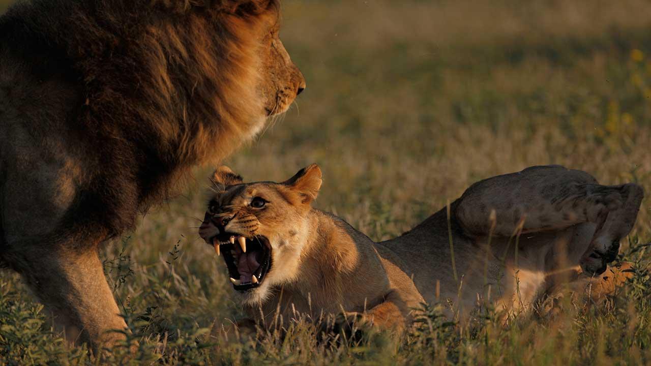 Lion King safaris in Africa