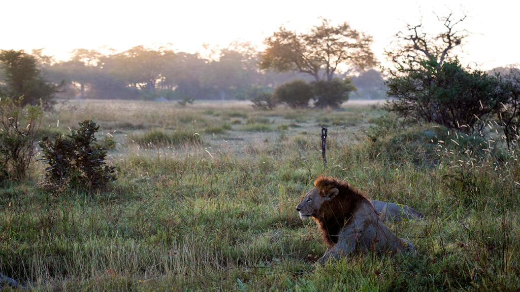 Botswana-Private-Reserve-Lodge-Safari---Khwai-Private-Reserve-Lion-King - Copy