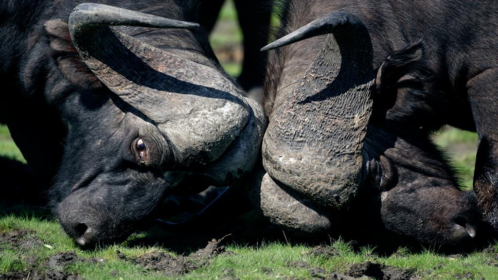 Botswana-Roundabout---Buffalo-fight