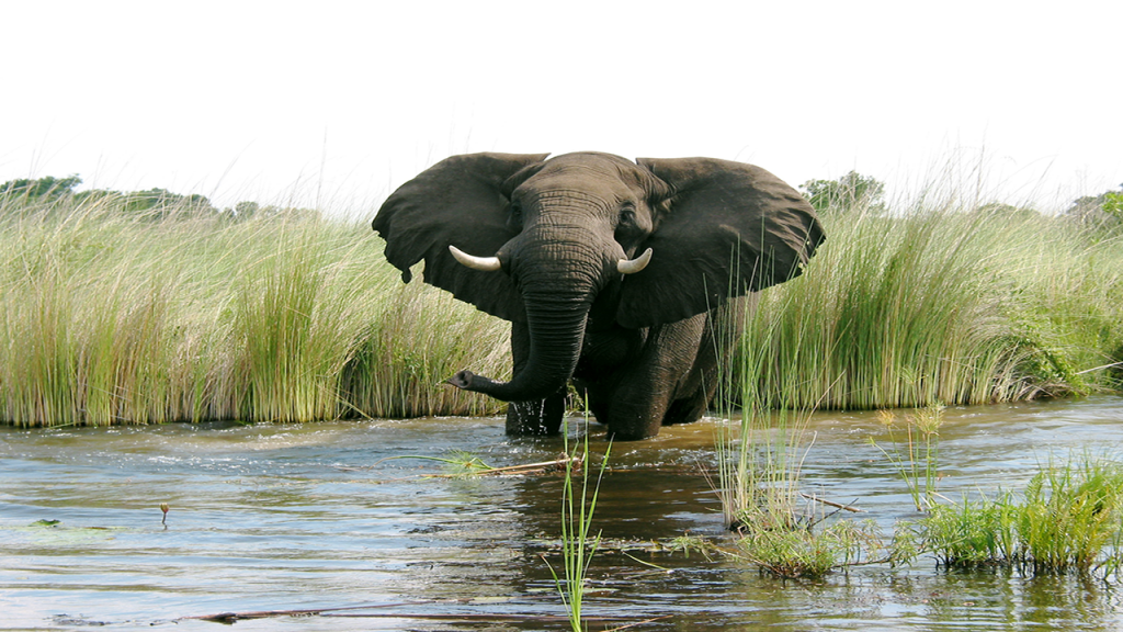 Botswana-Roundabout---Elephant-in-the-Okavango-Delta