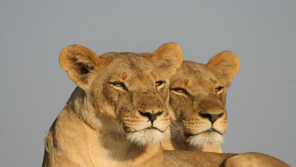 Botswana-Roundabout---Kalahari-Lioness