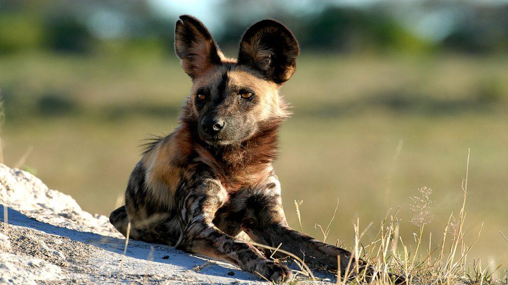 Botswana Roundabout - Wild dog
