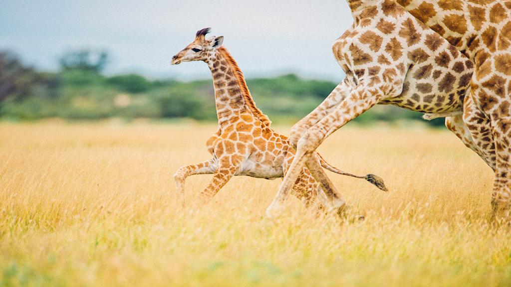 Classic-Botswana-Mobile-Safari---Chobe-Giraffe
