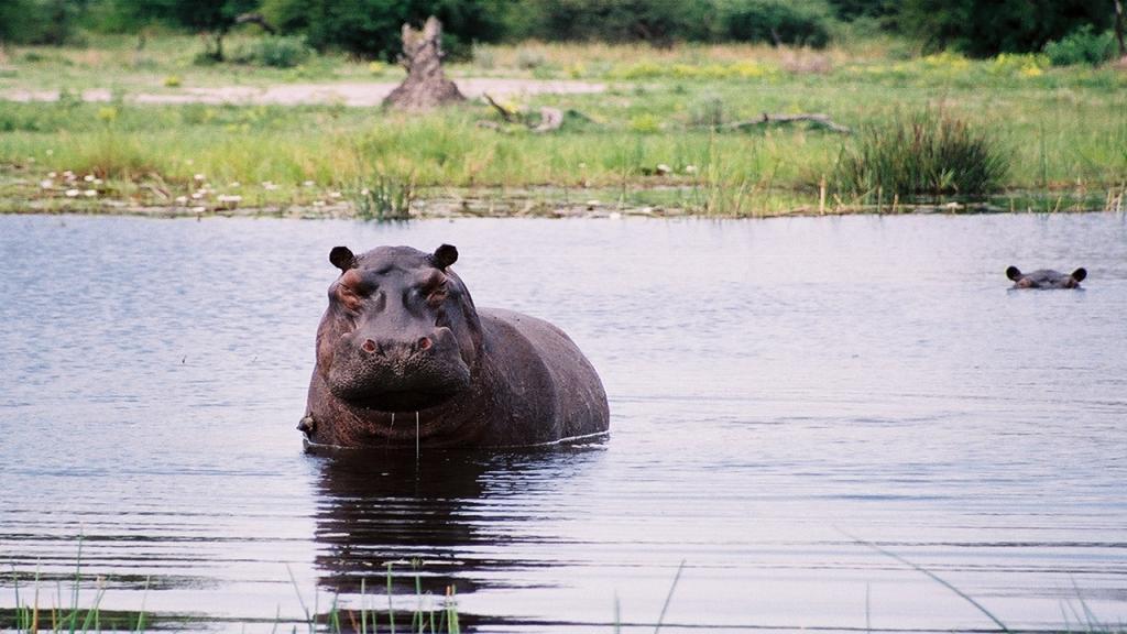 Classic-Botswana-Mobile-Safari---Okavango-Delta-Hippo