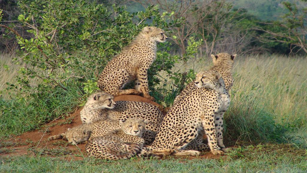 Classic-Botswana-Mobile-Safari---cheetah-family