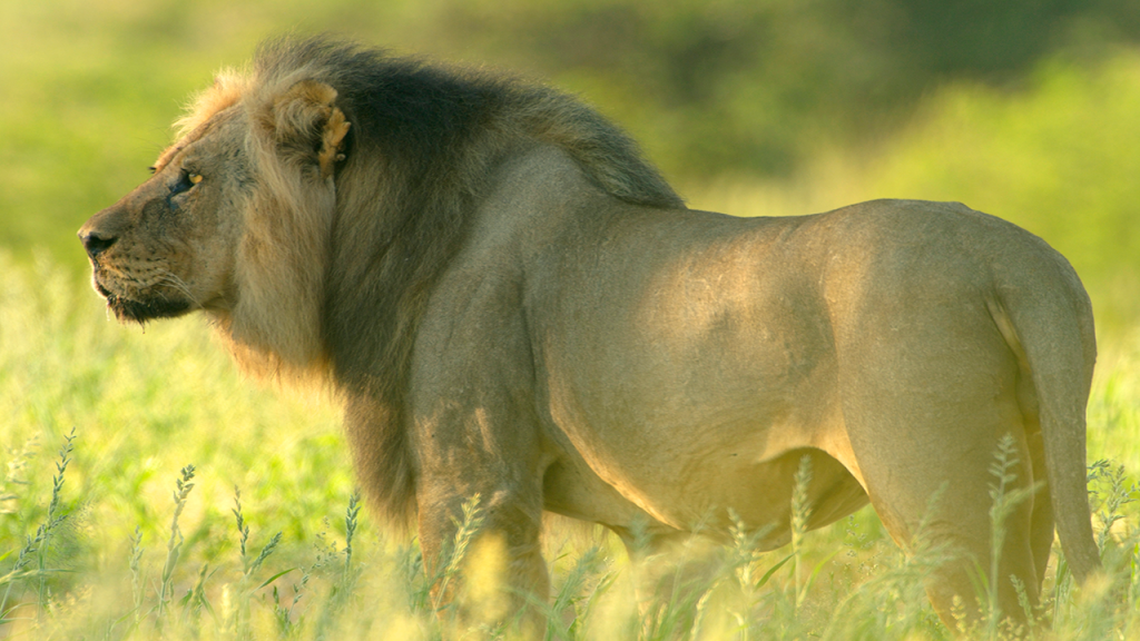 Botswana-Family-Adventure-Safari---Lion-on-Mobile-Safari-Game-Drive
