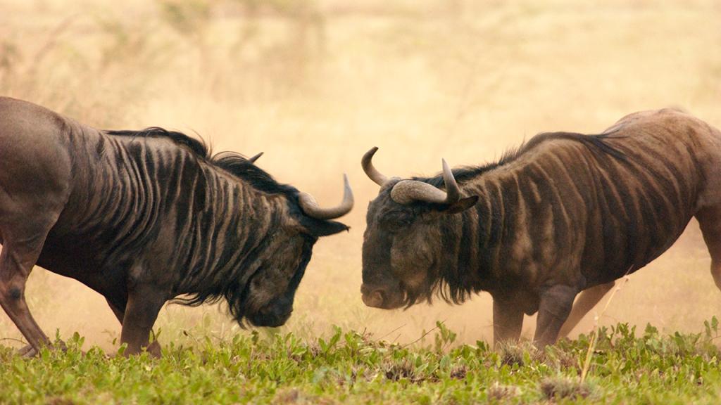 Botswana-Family-Adventure-Safari---Wildebeest-Sigthing-on-Game-Drive