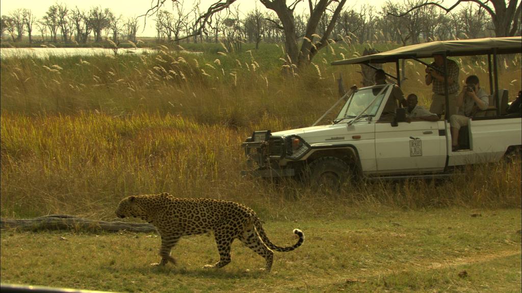 Botswana-Honeymoon-Safari---Leopard-on-game-drive-in-Moremi-Game-Reserve