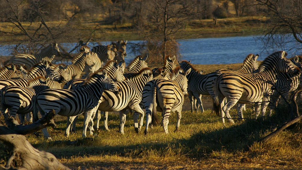 Botswana-Honeymoon-Safari---Leroo-La-Tau-Zebra-migration