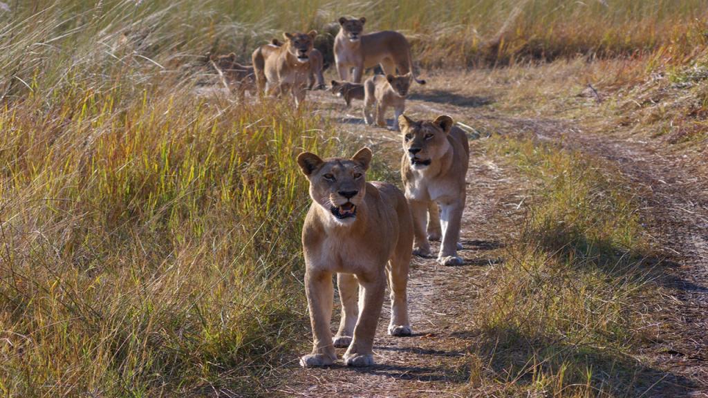 Botswana-Honeymoon-Safari---Moremi-Game-Reserve-Lions