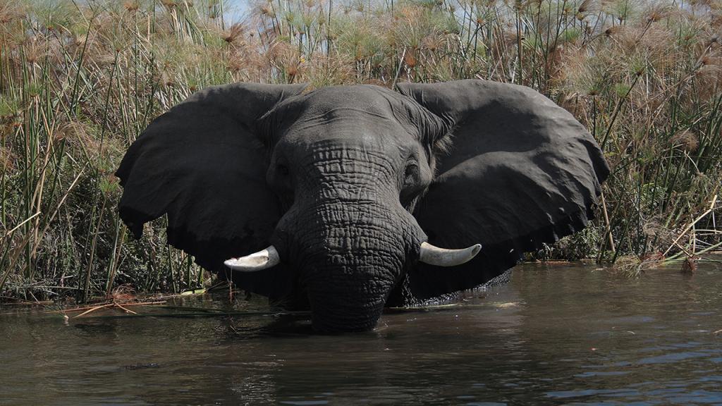 Botswana-Honeymoon-Safari---Okavango-Delta-Elephant
