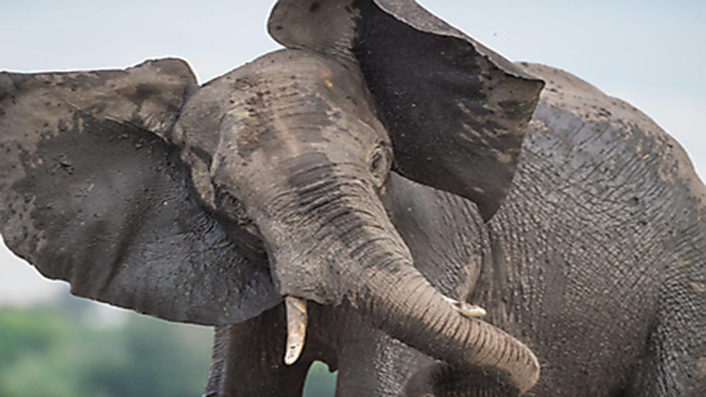 Zimbabwe-&-Botswana-Camping-Safari---Chobe-Elephant