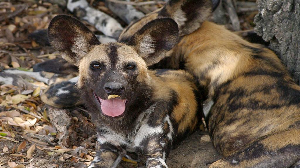 Zimbabwe-&-Botswana-Camping-Safari---Hwange-Wilddog