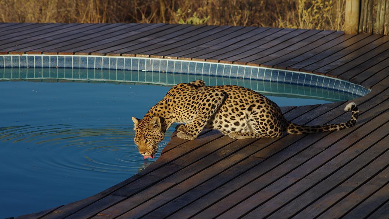 Kalahari-Leopard-at-Tau-Pan-Pool---Made-in-Africa-privately-hosted-Botswana-Safari